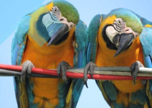 Twin parrots looking directly at you